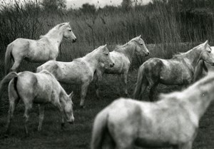 France Camargue Horses Nature Amateur Wildlife Photography 1970's
