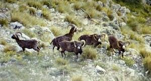 France Corse Carzola Mouflons Nature Amateur Wildlife Color Photography 1970's