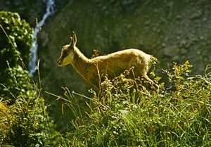France Young Chamois Nature Amateur Wildlife Color Photography 1970's