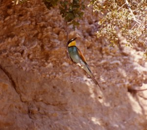 France Provence European Bee eater Amateur Wildlife Color Photography 1970's