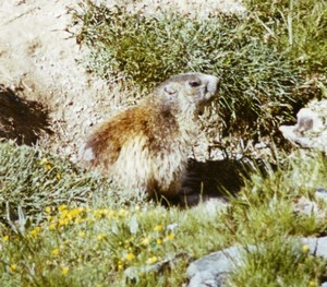 France Alpine Marmot Groundhog Nature Amateur Wildlife Color Photography 1970's