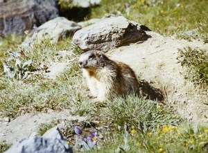 France Alpine Marmot Groundhog Nature Amateur Wildlife Color Photography 1970's