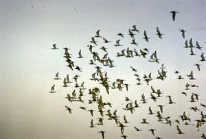 Spain Zahara Black Tailed Godwit Birds Nature Amateur Wildlife Photography 1970s