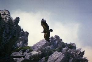 Spain Zahara Griffon Vulture Nature Amateur Wildlife Photography 1970's