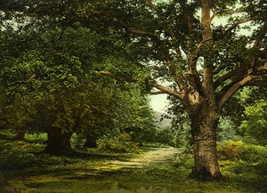 United Kingdom Burnham Beeches Forest Trees Old Photo Photochrom 1900