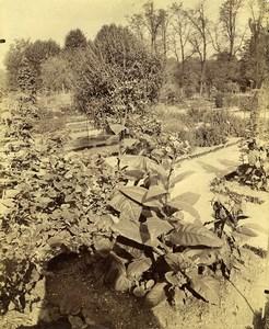 France Paris? Tobacco Plant Open Botanical Garden? Old Photo 1880