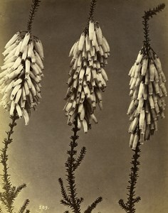 Italy Florence Still Life Study Plants Erica Monsoniana Old Photo Alinari 1880