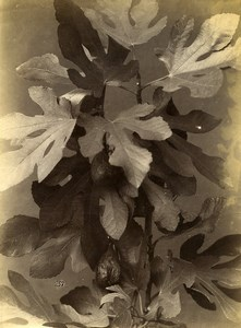 France French Still Life Study Plants Fig Tree Old albumen Photo 1880