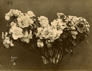 France Paris Still Life Study Plants Azalea Old Photo 1890