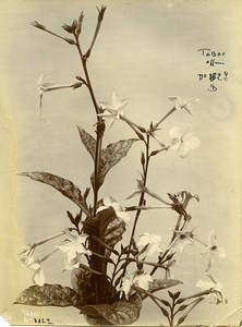 France Paris Still Life Study Plants Tobacco Old Photo 1890