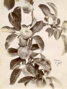 France Paris Still Life Study Plants Apple Tree Old Photo 1890