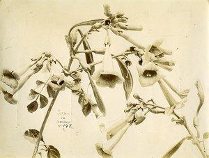 France Paris Still Life Study Plants Jasmine of Virginia Old Photo 1890