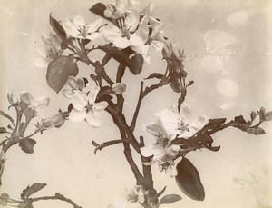 France Paris Still Life Study Plants Apple Tree Flowers Old Photo 1890