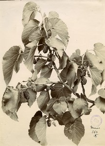 France Paris Still Life Study Plants Blackberry Bush Old Photo 1890