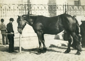 France Horse in a City Study Old Photo 1900