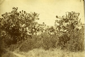 Algeria Algiers Prickly Pear Bushes Old Photo 1890