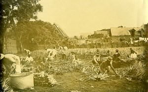Madagascar Plantation d'Agave Ancienne Photo Ramahandry 1910'