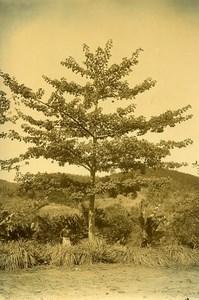 Madagascar Arbre Atafana Karazana Ravinala Ancienne Photo Ramahandry 1910'