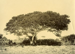 Madagascar un grand Arbre du Betsileo Ancienne Photo Ramahandry 1910'