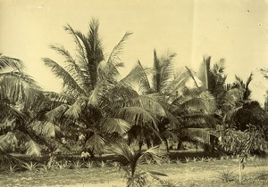 Madagascar Cocotiers à Maroantsetra  Ancienne Photo Ramahandry 1910'