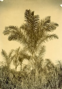 Madagascar Arbre Raphia Ancienne Photo Ramahandry 1910'