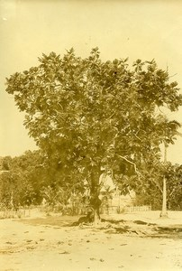 Madagascar Arbre a Pain Artocarpus altilis Ancienne Photo Ramahandry 1910'