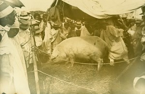 Madagascar Tananarive Agricultural Fair Pig Old Photo Ramahandry 1910'