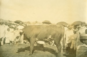 Madagascar Tananarive Agricultural Fair Cow Ox Old Photo Ramahandry 1910'