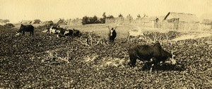 Vue poétique de Madagascar Panorama Betail Vaches Manakara Ancienne Photo 1937