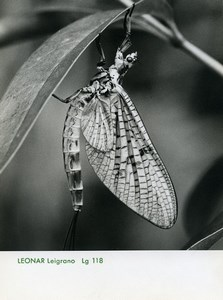 Publicity for Leonar Agfa paper Leigrano 118 Dragonfly old Photo 1960