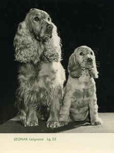Publicity for Leonar Agfa paper  Leigrano Lg25 Cocker Spaniels old Photo 1960
