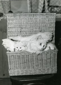 France Paris Cats Fair at salle Wagram Angora Cats? Basket old Photo 1930