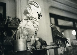 France Paris Hotel Moderne Birds Show Parrot Cockatoo old Photo 1962
