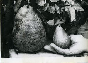 France Ariege Saint-Amadou Record Pear of 1kg200 old Photo 1963
