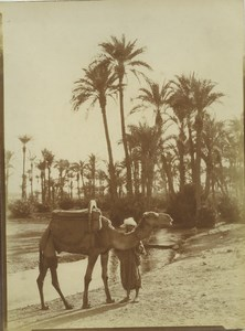 Morocco Marrakech Palmeraie Palm Grove Camel Old Photo Felix 1915