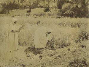 Algeria Zianis Harvesters in an oasis Old Photo Emile Frechon 1900