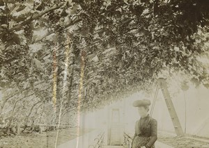 Bailiwick of Jersey Greenhouse of grapes vines Old Photo 1900