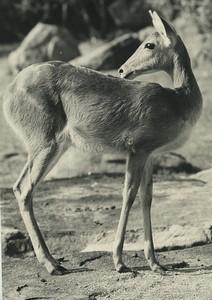 Africa Ivory Coast Antelope? Old Photo Defossez 1970's