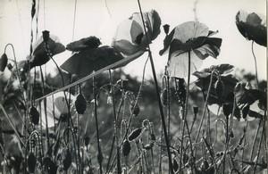 France Fleur Etude Artistique Campagnarde ancienne Photo Huet 1970