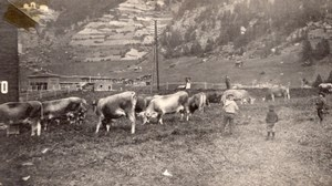 Canada Quebec Gaspésie Anse au Gascon? Cattle & Kids Old Snapshot Photo 1920