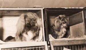 London Cruft's Dog Show 2 Pekingese Dogs Old Photo 1930