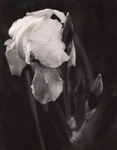 Iris Flower Close-up Rolleiflex Anderson Indiana Old Russell Merritt Photo 1940