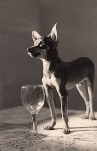 France Chihuahua Dog Portrait & Stemmed Glass Study Old Studio Photo 1953