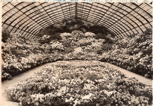 Paris Greenhouses Azalea Flowers Exhibition old Rol Photo 1936