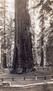 California Sequoia National Park Giant Tree old RPPC Photo 1930