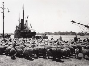 Libya Tripoli Sheep ready for Boarding ship Lido Genova old Photo 1940's?