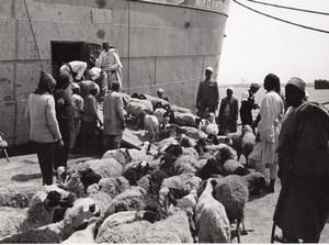 Libya Tripoli Sheep ready for Boarding ship old Photo 1940's?