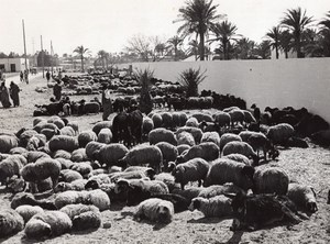 Libya Port of Tripoli Sheep ready for Boarding ship old Photo 1940's?
