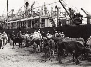 Libya Tripoli Cows Bovine ready for Boarding ship old Photo 1940's?
