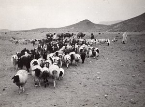 Libya Sheep going to Tripoli for Boarding ship old Photo 1940's?